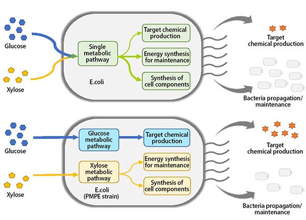 图2:上图:使用常规大肠杆菌进行生物生产。 下图:使用大肠杆菌的PMPE菌株进行生物生产。