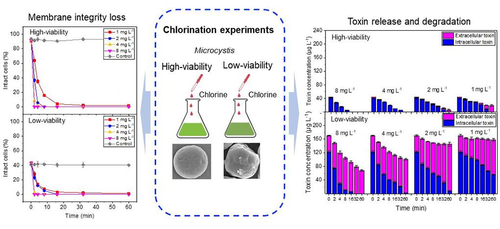 氯化处理高/低活性蓝藻细胞 文章摘要图